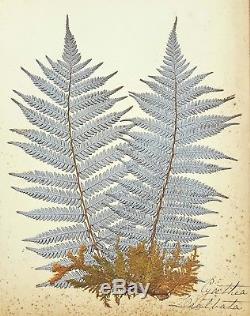 1890 Artistic Herbarium NEW ZEALAND FERNS Mrs Tom Bell King of Kermadecs