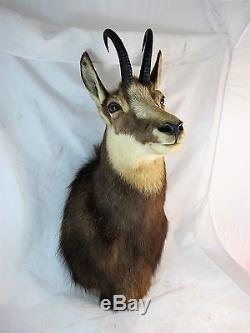 Taxidermy Chamois From New Zealand C1980's